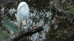 Great Egret Standing in middle of the swamp - stock footage