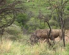 Rhinos walking away GFSD Stock Footage