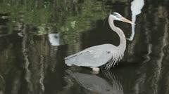 Great Blue Heron walking through the swamp Stock Footage