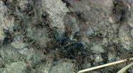 Stock Video Footage of Angry Ants Attack Fly Timelapse