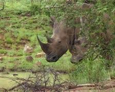 Two Rhinos hiding behind bush GFSD Stock Footage