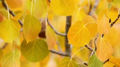 colorful aspen trees in the eastern sierras, california - stock footage