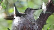 Stock Video Footage of Anna's Hummingbird Builds Nest