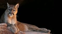 Mountain Lion Black Background Stock Footage
