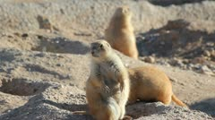 Prairie Dog Ninja Arkistovideo