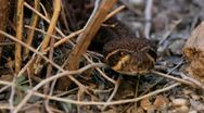 Stock Video Footage of Rattlesnake Flicks Tongue Close-Up