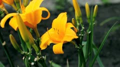 Yellow lilies Stock Footage