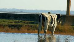 Bull exceeds the water looking for food Stock Footage