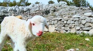 Baby Lamb first step Stock Footage