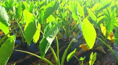 Green Agriculture Crops Stock Footage