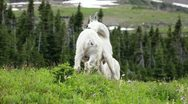 Mountain Goat on hill scratching P HD 0578 Stock Footage