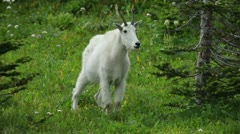 Mountain Goat standing in forest P HD 0558 Stock Footage