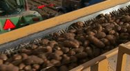 Stock Video Footage of Potatoes loaded into truck 29.97p