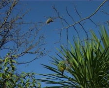 Weaver Bird Building Nest 02 GFSD Stock Footage