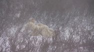 Wild polar bear playing Stock Footage