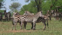 Plain zebra Stock Footage