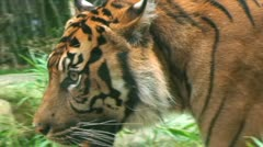 Wild Tiger - stock footage