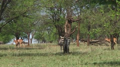 Plain zebra Stock Footage