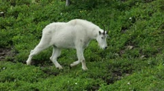 Mountain Goat walking through forest P HD 0559 - stock footage