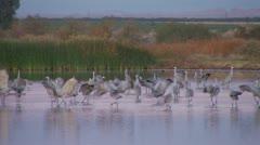 Sandhill Crane In Pond 2 Stock Footage