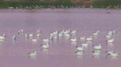 Geese On A Pond At Sunrise Stock Footage