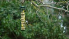 Bluetit on bird feeder, flies in. Stock Footage