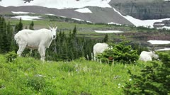 Goat Mountain family grazing forest P HD 0580 Stock Footage