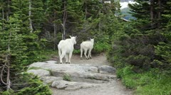 Goat Mountain ewe and lamb trail forest p HD 0571 Stock Footage