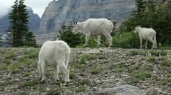 Goat family mountain forest P HD 0593 Stock Footage