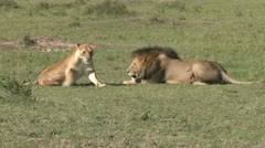 A lion couple walking through the plains - stock footage