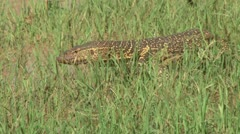 A monitor lizard slitheres through grass Stock Footage