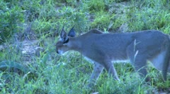 Stock Video Footage of A very rare cat called caracal, passing infront of the camera in the