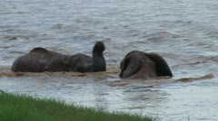 Bull elephants playing in the river Stock Footage