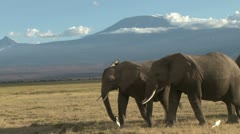 close up of elephants walking with kilimanjaro in the back ground - stock footage