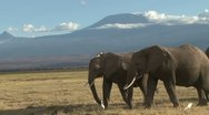 Stock Video Footage of close up of elephants walking with kilimanjaro in the back ground