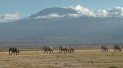 Elephants walking through a park with kilimanjaro in the back ground. Stock Footage