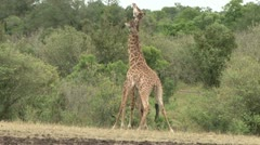 Giraffes twisting their necks. Stock Footage