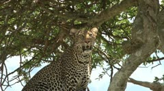 Leopard watching his territory from top of a tree. Stock Footage