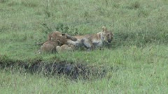 Little lion cubs drinking milk from mother Stock Footage