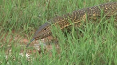 Monitor lizard using jthe forked tongue to smell in the water. Stock Footage