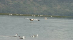 Pelicans flying just above the water in a lake Stock Footage