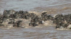 Wildebeests crossing the river with hippos in the back ground Stock Footage