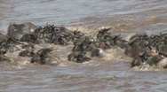 Stock Video Footage of wildebeests crossing the river with hippos in the back ground
