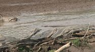 Stock Video Footage of zebra saved from a muddy section by a crocodile, then is drowned.