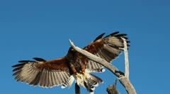Fantastic Hawk Landing Stock Footage