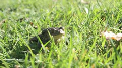 Frog breathing and moving Stock Footage