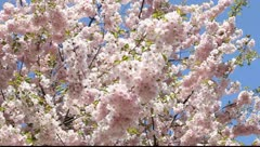 Sakura against the blue sky Stock Footage