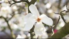 Magnolia flowers Stock Footage