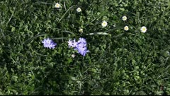 Blue flowers on a background of green grass Stock Footage