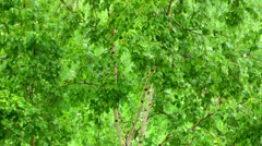 The birch in summer rainy day, is a lot of greens, a good back background Stock Footage